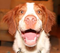 Woody, a Brittany spaniel from Nashville, Tennessee Amazing, this looks like my first Brittany who was NAMED WOODSTOCK! Brittany Puppies, Brittany Spaniel Dogs, Spaniel Breton, I Love Dogs, Cute Dogs, Funny Animals, Cute Animals, Crazy Eyes, Best Dog Breeds
