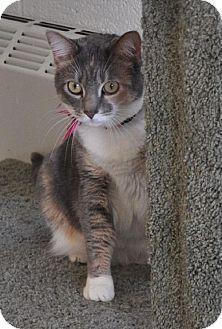 Westampton, NJ - Domestic Shorthair. Meet C-59802 Camilla, a cat for adoption. http://www.adoptapet.com/pet/11162522-westampton-new-jersey-cat