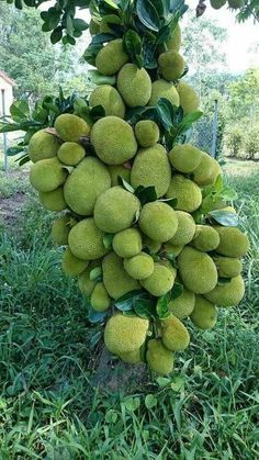 looks like jack fruit Fruit Plants, Fruit Garden, Edible Garden, Fruit Trees, Trees To Plant, Organic Vegetables, Fruits And Vegetables, Fruit And Veg, Fresh Fruit