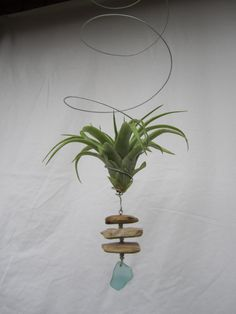 """Medium hanging air plant in wire """"bouncer"""" with driftwood and seafoam green beach glass pendant handmade ornament."""