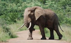 awesome Bull Elephant Image For Free