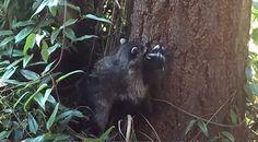 Tiervideo - Mama Waschbär zeigt, wie man klettert  #Klettern, #Lernen, #Waschbär #Tiere
