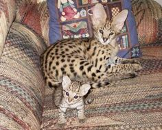 Yes, folks, that's a cat. The breed is Savannah and they