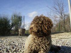 Cute Lagotto Romagnolo Dog