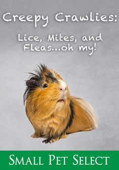 ​Guinea pig mites and lice are common, albeit unsettling, but usually easy to treat. And guinea pig parasites are species-specific, so you're totally safe. Guinea Pig Breeding, Guinea Pig Care, Guinea Pigs, Soft Dog Treats, Pet Treats, Pigs Eating, Dog Bones, Healthy Pets, Pet Grooming