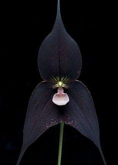 Dracula raven orchid. Love orchids!