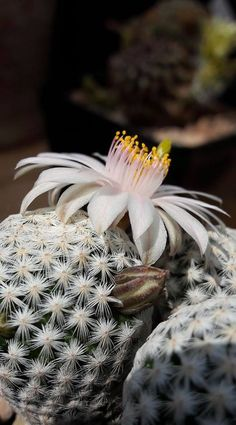 Mammillaria albiflora.