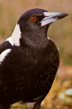 Tasmanian Magpies do not attack people like they do on the mainland, not as aggressive. Clay Birds, Pet Birds, Bird Identification, Jackdaw, Australian Animals, Bird Pictures, Colorful Birds, Star Wars, Magpie
