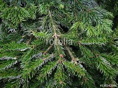 Weihnachtsbaum mit grünen Nadeln in der Adventszeit auf dem Wochenmarkt von Detmold im Kreis Lippe in Ostwestfalen