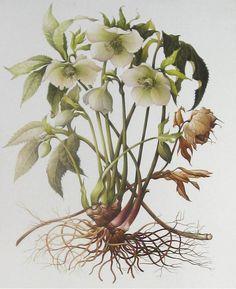 Helleborus orientalis by Elizabeth Cadman