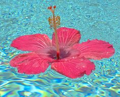 Pink floating hibiscus...
