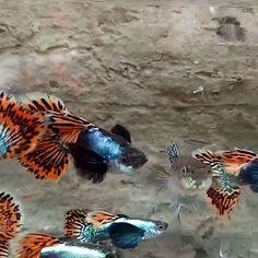 Fancy Guppy Tank Mates (Buying Guide) Video Credit: Red Mosaic Black Ear Guppy on IG Betta Aquarium, Tropical Fish Aquarium, Tropical Fish Tanks, Goldfish Aquarium, Fish Ocean, Fish Fish, Betta Fish Tank, Baby Betta Fish, Cutest Animals