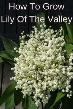 One of the most beautiful wild flowers, lily of the valley, is the perfect shade ground cover. Learn how to grow this delicate but hardy flower in your backyard and in pots indoors. Growing lily of the valley is easy and they will keep on flowering for years to come. The fragrance is unbelievable! And a potted lily of the valley is the perfect gift for Mother's day ;)  #garden #flowers #fragrantflowers #shadegarden #groundcover #spring #mothersday #mothersdaygift