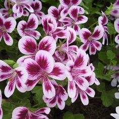 Pelargonium 'Bagatelle' | Copyright Greenplantswap 2017