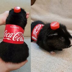 This is one of the best things I've ever seen on the internet 🤣!!! (From @9gag) #guineapig #coke #bottle