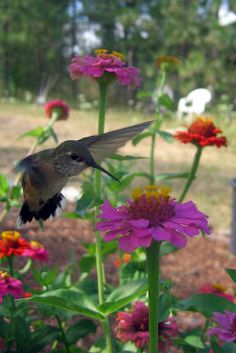 Lovin' this..as I look out the kitchen window on my 3 foot high zinnias..the most cheerful of flowers