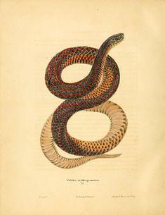 https://flic.kr/p/adgDU2 | n169_w1150 | North American herpetology. v.1 Philadelphia :J. Dobson,1836-1840. biodiversitylibrary.org/page/35765162