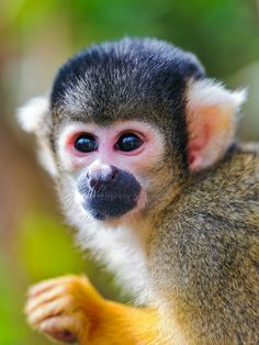 My squirrel monkey looked exactly like  this one. He was only 5 months old when we got him. He has been deceased for 17 years and I still have very fond memories of him.  He was definitely scared when we got him, we had many bite marks from him, but I wouldn't trade it for the world!