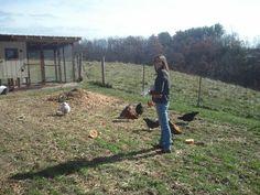 Pickin' the Right Frickin' Chicken: Guide to Picking  Backyard Chicken Breeds.