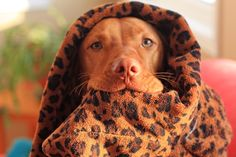 Vizsla/ Animal prints out of control...I'm sexy and I know it!
