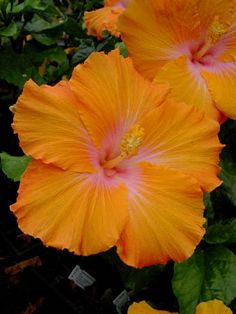 Hibiscus 'Amber Brubaker'. What a beautiful flower