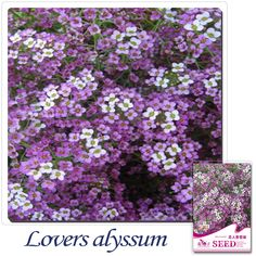 Buy 2 Get 1!(Can accumulate ) 1 Pack 50 Seed purple aromatic spice snowball flower seeds A170