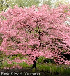 SOUTH ALONG ROAD:  Pink Dogwood  Cornus florida 'Rubra'  Attractive Pink Flowers with White Accents  Red Fall Foliage  4 Season Tree  Low-Branching Tree  Grows to 25', 25' spread Rarely damaged by Japanese beetles   zones 5-9  $17