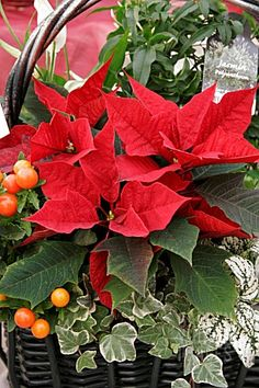 Pretty Christmas Poinsettia basket