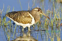 _DSC4006 Painted Snipe (Female)_Bowra Station by alwynsimple, via Flickr