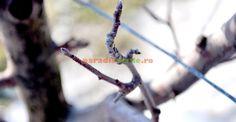 Cum recunoaştem mugurii de rod la măr | Paradis Verde Hair Accessories, Plants, Gardening, Life, Garten, Planters, Lawn And Garden, Garden, Hair Accessory
