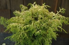 Kamaeni Dwarf Gold Hinoki Cypress (60cm high & wide) Dense pyramidal evergreen with slender unique growth. Yellow to green foliage grows in tiers. Excellent for rock garden. Sun to pt shade. Canadale Nurseries Ltd.