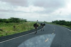 only in kenya do you enjoy watching game on a highway like these ostriches on the isiolo - merille road - photo - henry kimathi #travel