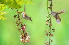 Let's Play - Bird: Yellow-Bellied Wren Warbler (Prinia flaviventris) 灰頭鷦鶯 Plant: Barringtonia racemosa 穗花棋盤腳