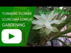 Turmeric - Learn how to grow Turmeric, plant information - climate, zone, uses, growth speed, water, light, planting & bloom
