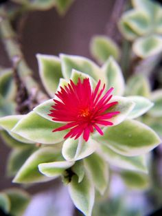Ice plant (Rock Rose, I believe) - used to have one, miss it.