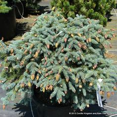 Picea pungens 'Early Cones' - Conifer Kingdom
