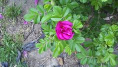 Rosa Rugosa (hip roses) are awesome. They are pretty, smell divine, make great privacy hedges, and both the blooms and the hips are edible. I make jams, jellies, syrups, and even wine with them!