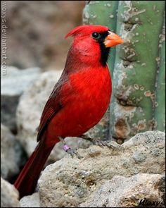 Magnificent Cardinal... Mr. Redbird.