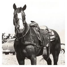 Baby Doll, Livestock • Timed event horse/Steer Wrestling • Inducted 1979
