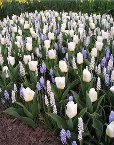The Idea Garden Spring Bulb Display - Garden Types Tulips Garden, Garden Bulbs, Garden Plants, Planting Flowers, Fall Planting, Gardening Vegetables, Fruit Garden, Herb Garden, House Plants