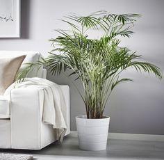 CHRYSALIDOCARPUS LUTESCENS potplant | IKEA IKEAnl IKEAnederland inspiratie wooninspiratie interieur wooninterieurdesigndroom planten groen decoratie rust goudpalm