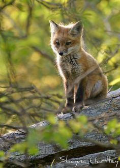 ☀Another fox kit :) by Shayna Hartley on Flickr*