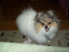 Bindi is an adoptable Pomeranian Dog in Sacramento, CA. Bindi is a 1 year old, male very active Pom. Bindi's wish is to find a Pom experienced family that can help him overcome and correct dominant/ag...