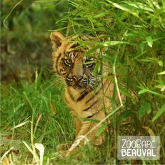 Jeune tigre de Sumatra dans son enclos extérieur - ZooParc de Beauval