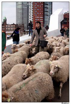 Urban sheep (by bertolucci) Rotterdam, Netherlands