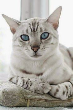 Egyptian Mau: The distinction of being the oldest cat breeds. Ancient paintings, pictures and sculptures have depicted the spotted cats that date back to the Egyptian era when cats were regarded as sacred. Pretty Cats, Beautiful Cats, Animals Beautiful, Cute Animals, Pretty Kitty, Gorgeous Eyes, Hello Beautiful, Beautiful Creatures, Cute Kittens