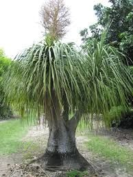 Beaucarnea recurvata (Bottle Palm) is a species of plant in the family Asparagaceae, native to the states of Tamaulipas, Veracruz and San Luis Potosí in eastern Mexico. Despite its common name, it is not closely related to the true palms. Common Names, Planting Succulents, Trees To Plant, Palms, Herbs, Landscape, Tel Aviv, Terrace, Mexico