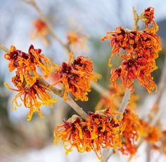 Hamamelis × intermedia 'Jelena': Crocus.co.uk  >> pairs well with red-twigged dogwood