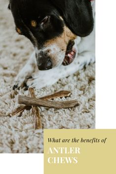 Know what you are giving to your dog! These natural antler dog chews are non-toxic, without any chemicals, cleaned with water and made with hand held tools and love! Dog Chews, Antlers, Pup, Dog Cat, Tools, Cats, Natural, Animals, Horns