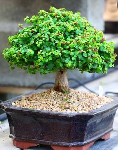 Picture of A small bonsai tree in a ceramic plate stock photo, images and stock photography. Jade Bonsai, Succulent Bonsai, Bonsai Plants, Bonsai Garden, Planting Succulents, Bonsai Pruning, Bonsai Tree Care, Indoor Bonsai Tree, Mini Bonsai